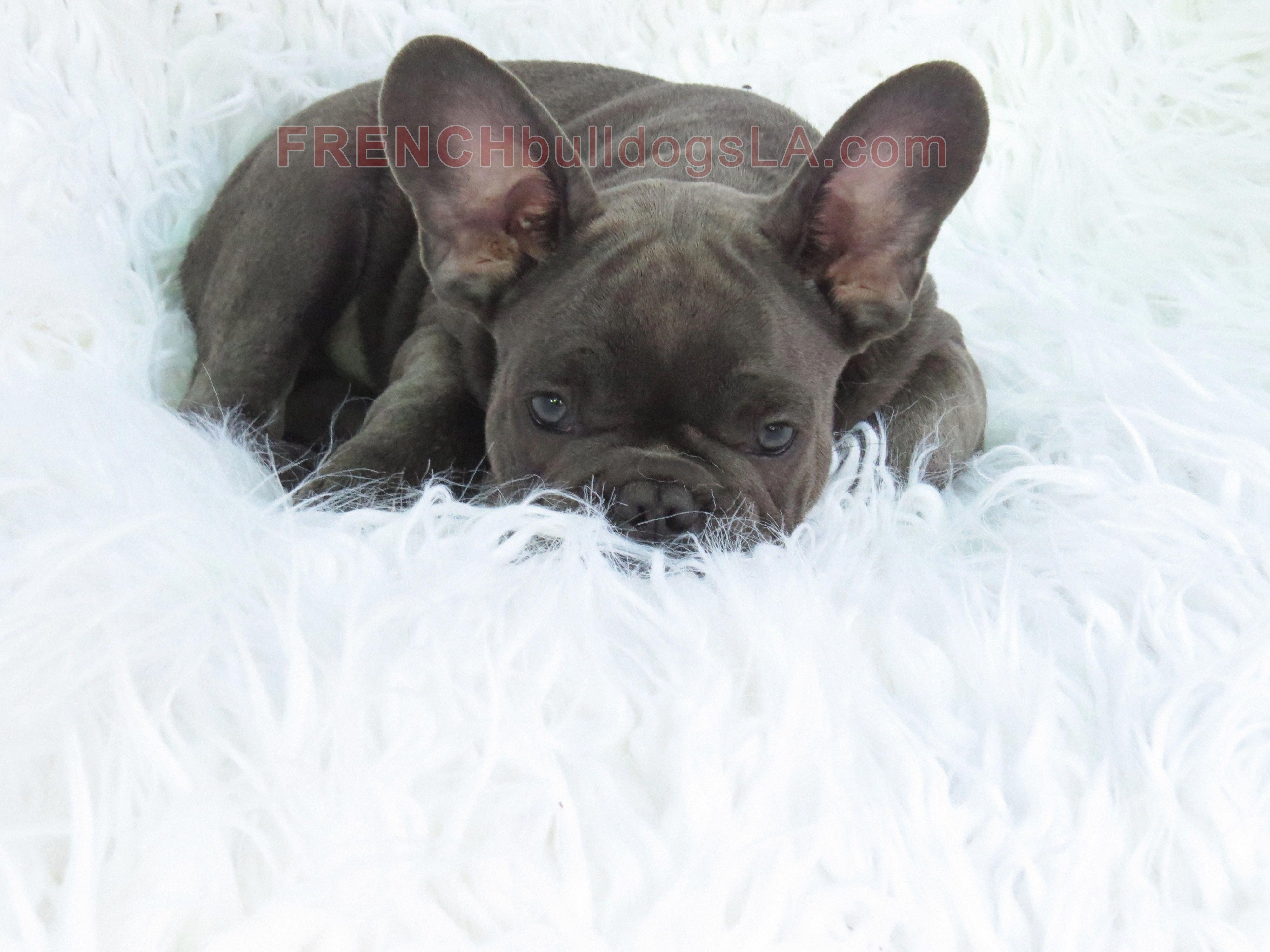 the traits we all love about the smart frenchie pups
