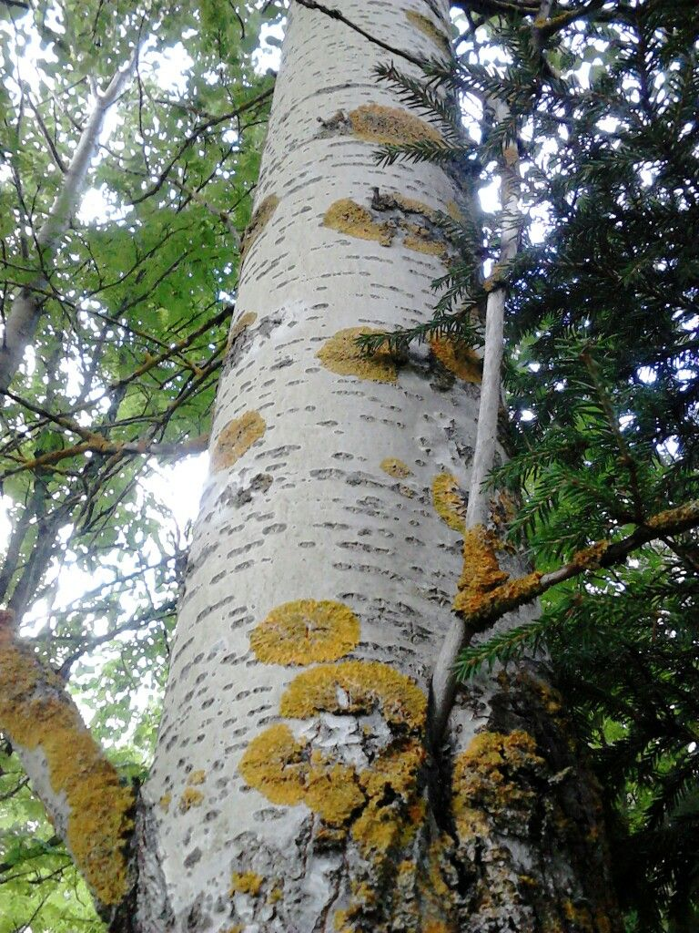 Asp träd