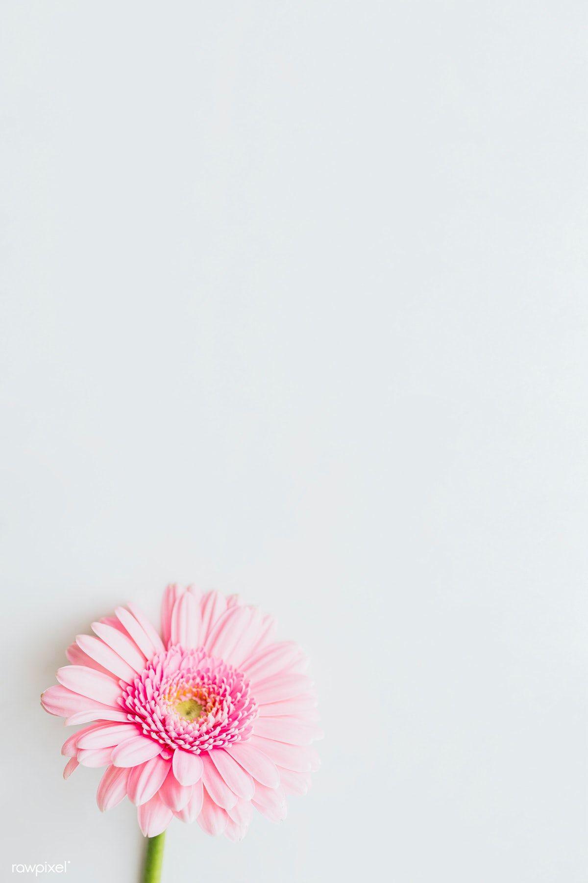 Single Light Pink Gerbera Daisy Flower On Gray Background Free Image By Rawpixel Com Karolina Kaboompics In 2020 Pink Gerbera Gerbera Flower Daisy Flower