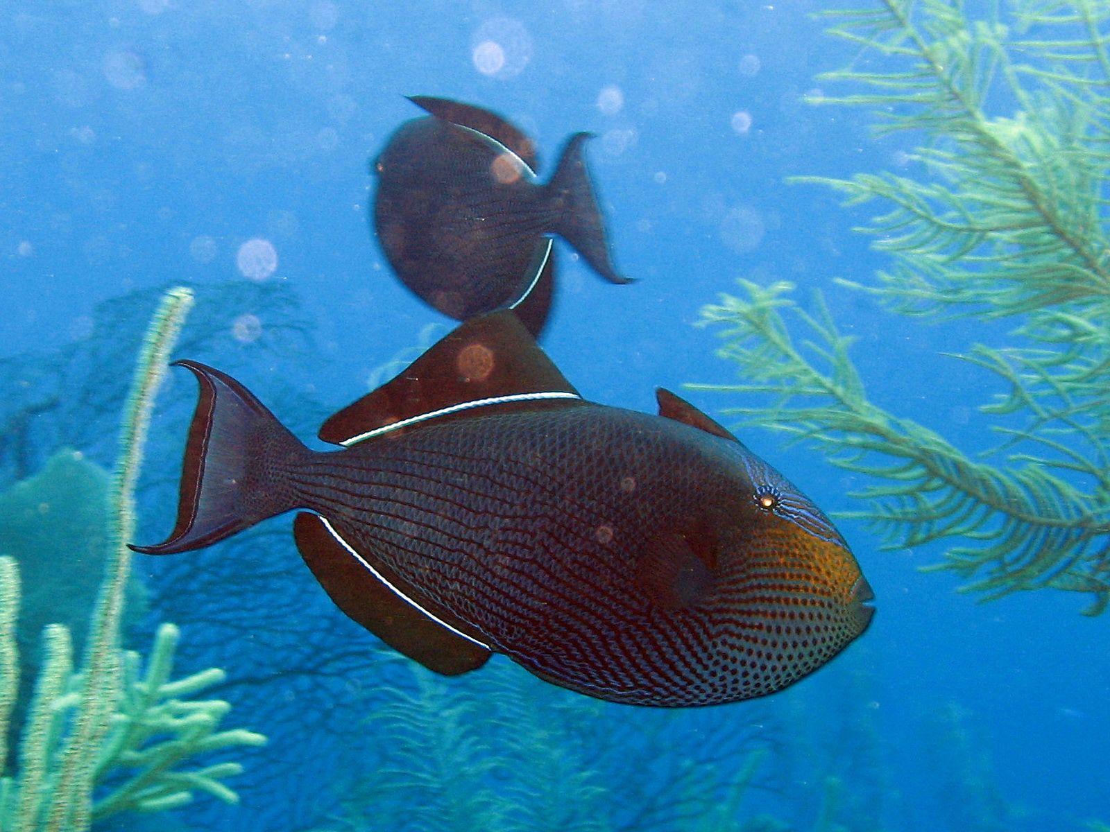 Black Triggerfish In Algae Photo Marine Animals Fish Pet Marine Life Ocean underwater life fish corals algae