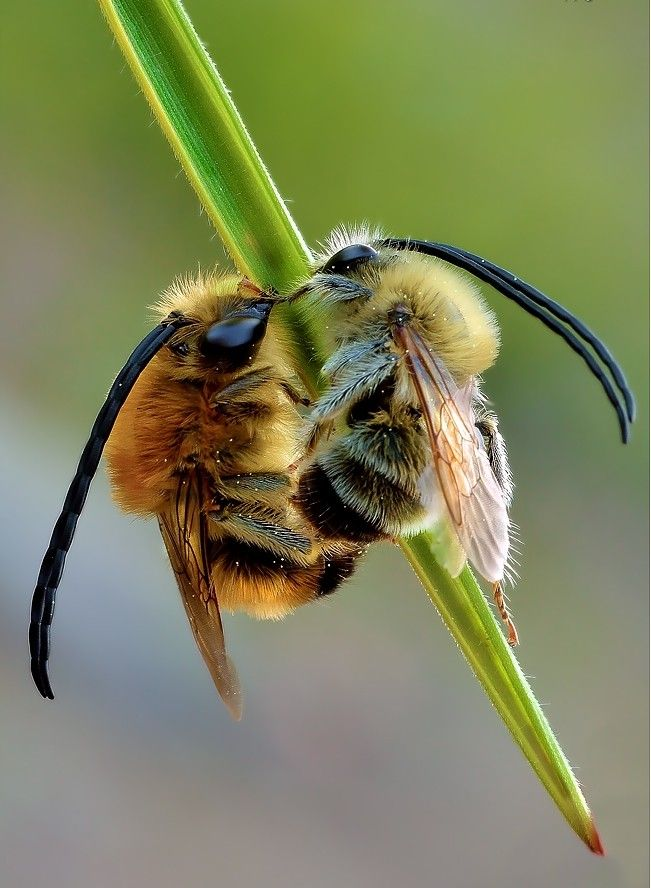 abeille à longues antennes