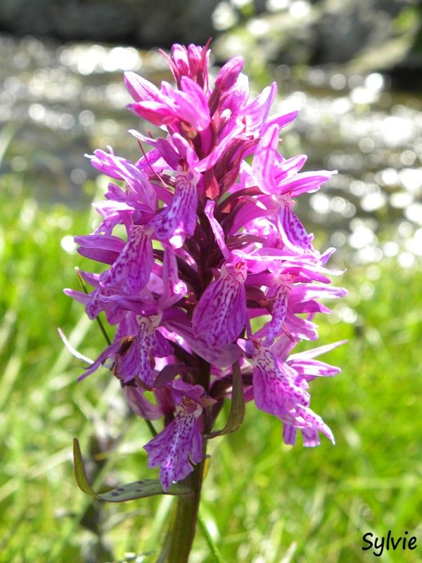 orchidee blanche des alpes