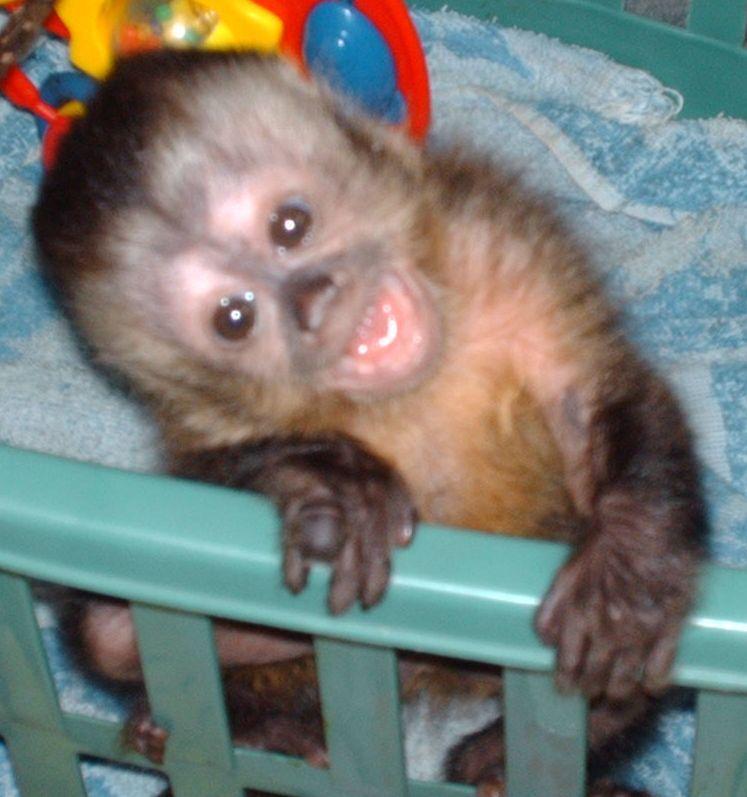 Black Cap Capuchin infant  1251b54fe869