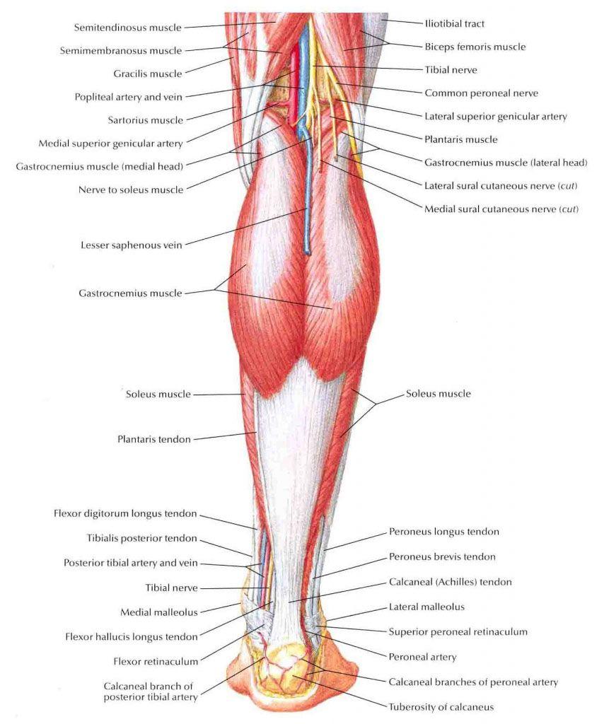 Lower extremity distal part muscle anatomy - www.anatomynote.com ...