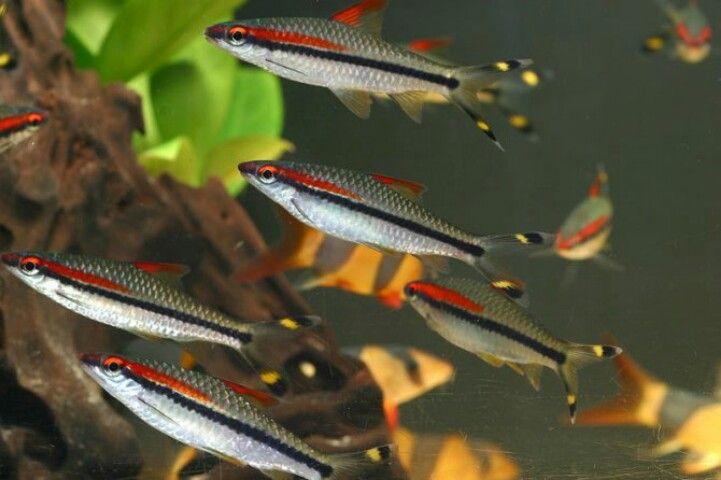 Red Line Torpedo Barb Love Aquarium Fish Aquarium Fish Tank Cool Fish