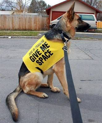 What Is The Yellow Dog Project German Shepherd Dogs German