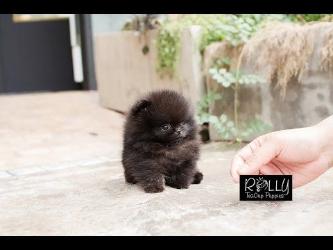 True Teacup Black Pomeranian Teddy Bear Kasey Rolly Teacup Puppies Youtube Teacup Puppies Cute Teacup Puppies Puppies