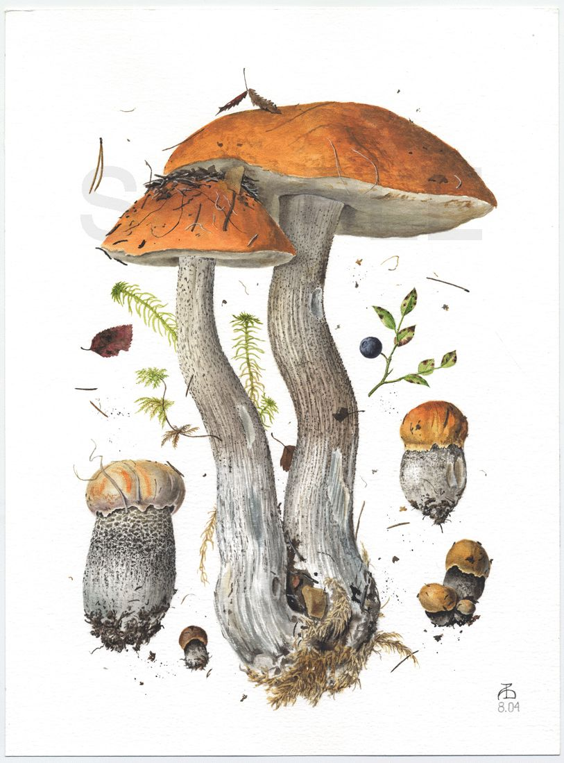 Image from http://www.pelcor.com/mushrooms/mushroomsbig/Leccinum%20versipelle%20II.gif.