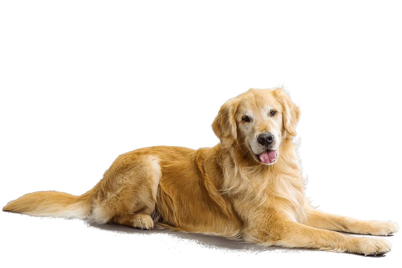 Golden Retriever Dog Breed Information Golden Retriever Dogs Golden Retriever Golden Retriever Breed
