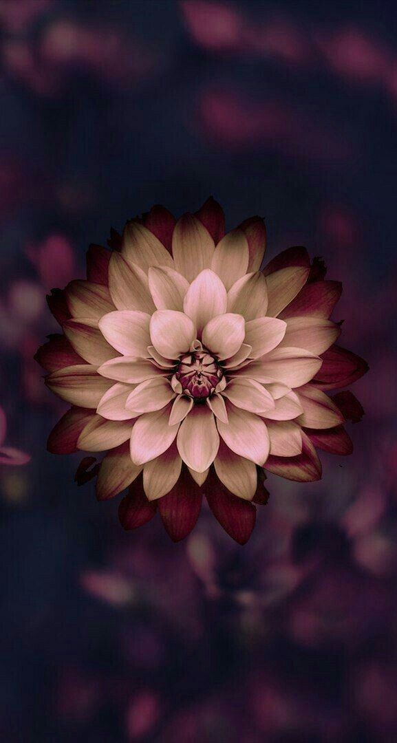 Pin By Diana Reyes On Dahlia Flowers Photography Wallpaper Flower Wallpaper Flowers Dark Background