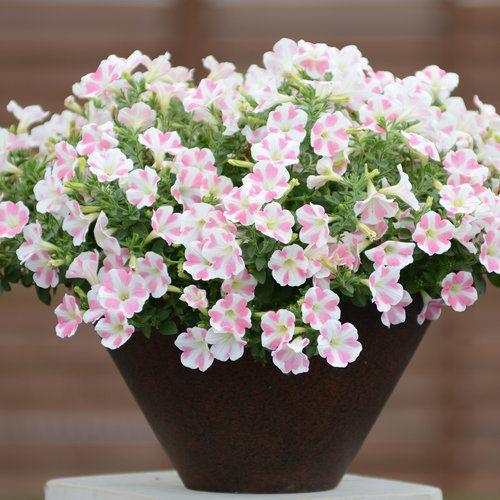 Surfinia Heartbeat Petunia Hybrid Macetas Plantas