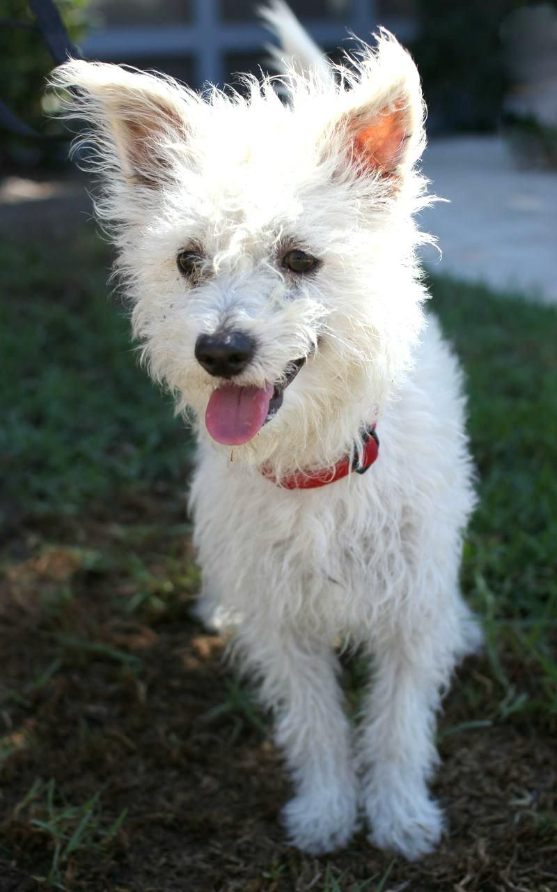 Red and white terrier mix