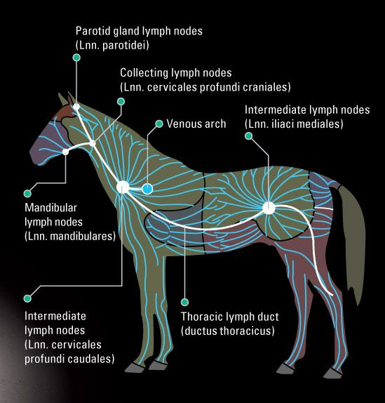 Diagram of lymphatic system equine watershed wiring circuit horse lymphoid system google zoeken horses pinterest horse rh pinterest com equine endocrine system horse muscle ccuart Choice Image
