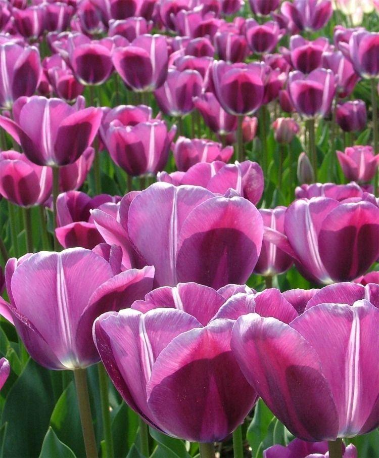Tulip Andre Rieu Single Late Tulips Tulips Flower Bulb Index Bulb Flowers Tulips Flowers Tulips