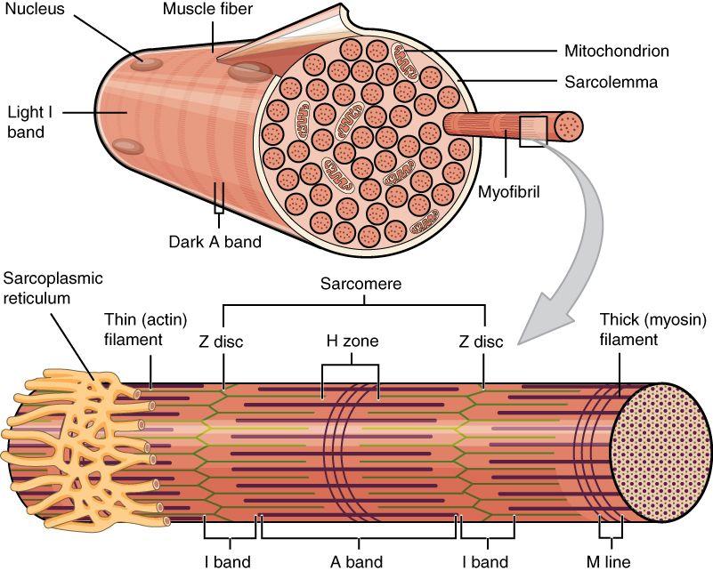 0ee7d81c0dbb6ad9af5d66ae0b998de0 muscle fiber sarcoplasmic reticulum & myofilaments anatomy