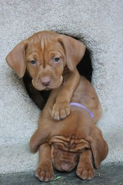 Litter Of 8 Vizsla Puppies For Sale In Brentwood Ca Adn 41328 On