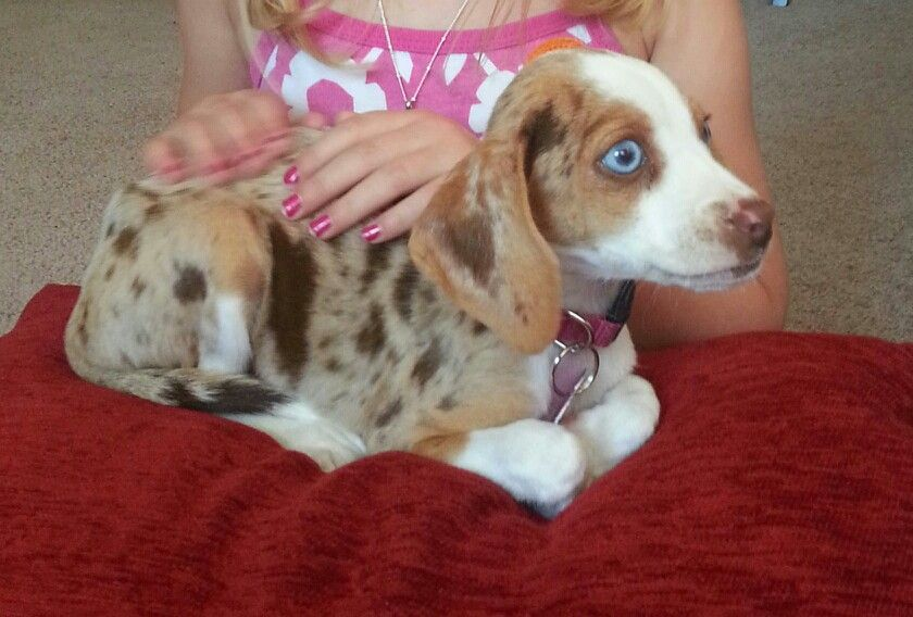 Queen Elizabeth Pocket Beagle Mocha Harlequin Color Pocket Beagle Beagle Beagle Dog