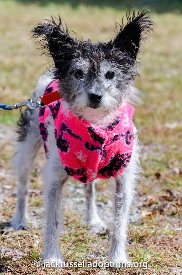 Adoptable Chinese Crested Powder Puff Mix Thelma