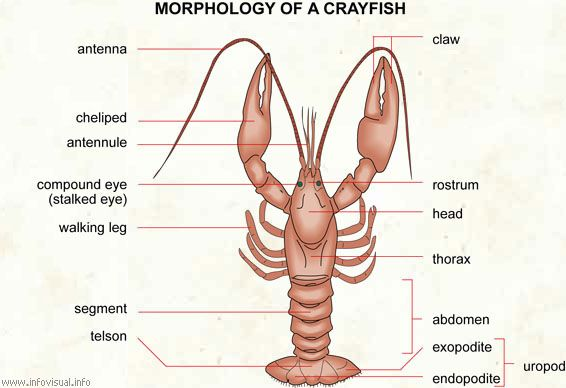 crayfish dissection labeling guide cycle 1 week 7 cycle 1 Moreno Valley School District