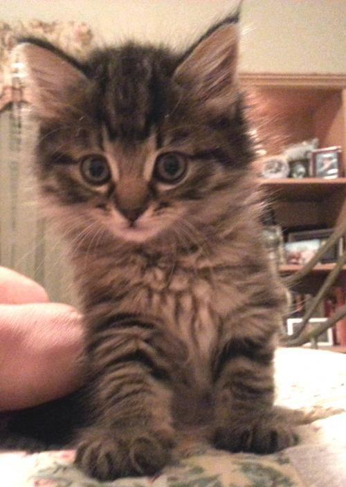 Meet Jolly 22294 A Petfinder Adoptable Domestic Long Hair Cat