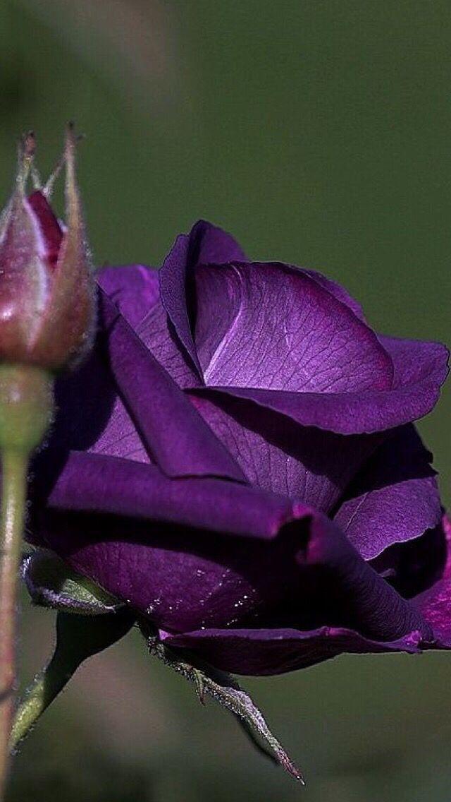 Обои iPhone wallpapers | Розы, Красивые розы, Фиолетовые розы