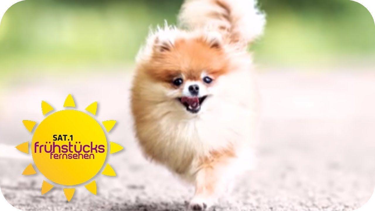 Influencer Hund Zwergspitz Minzi Ist Ein Instagram Star Sat 1 Fruhst Zwergspitz Hund Illustration Hunde