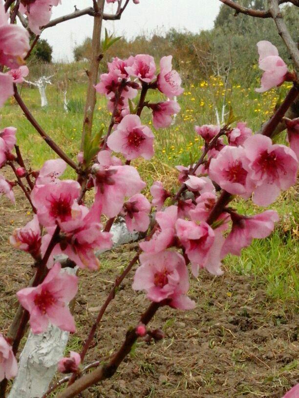 Fiori di pesco fiori pinterest fiori di pesco fiori - Giardini e fiori ...