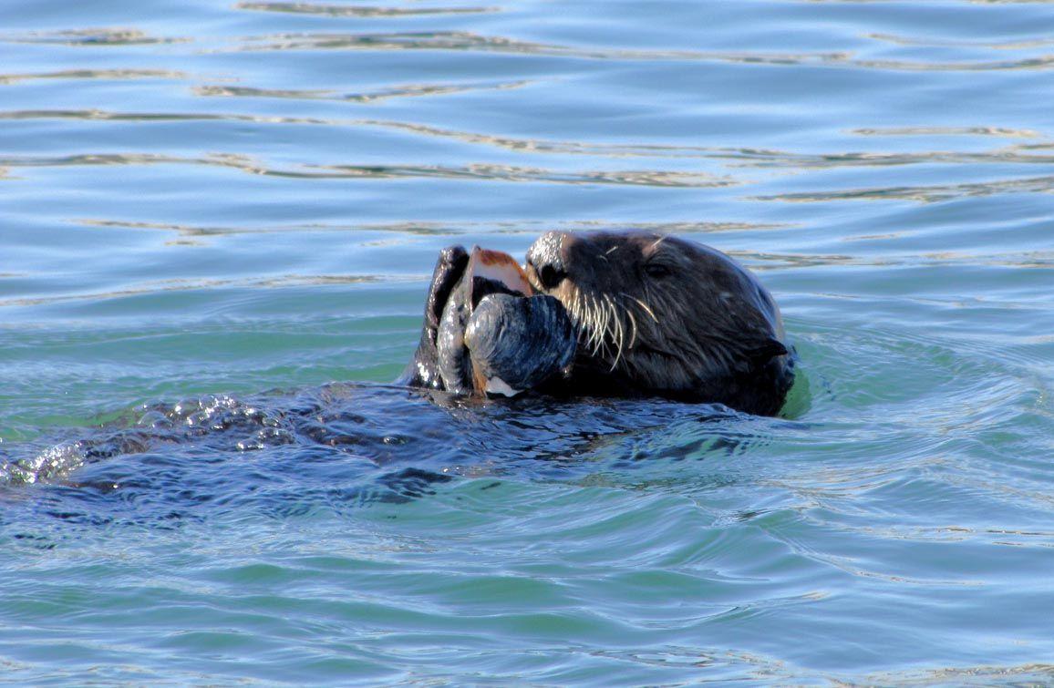 sea otter Sea otter, Otters, Sea lion