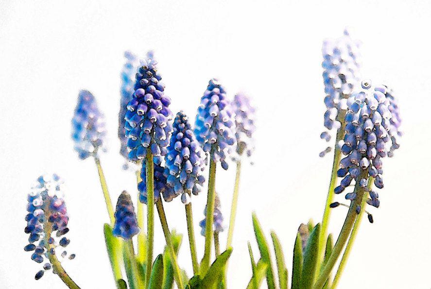 Big smile grape hyacinth watercolor print 1000 via
