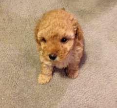 Pin By Marie Papalia On Toy Poodles Toy Poodle Puppies Poodle