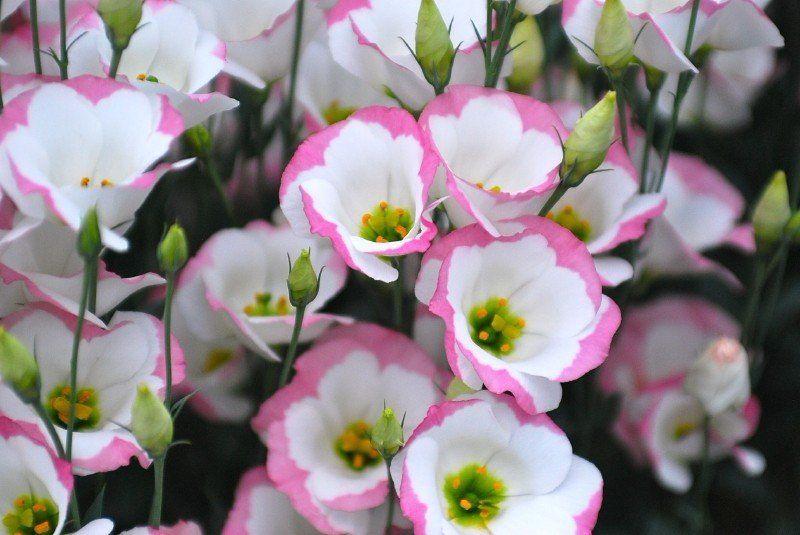 выращивание цветов из семян для сада