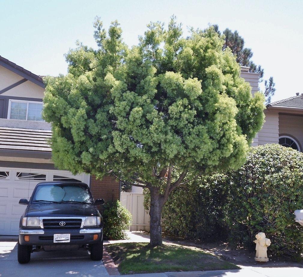 Podocarpus Gracilior Evergreen Nursery Evergreen Nursery Backyard Plants Small Trees