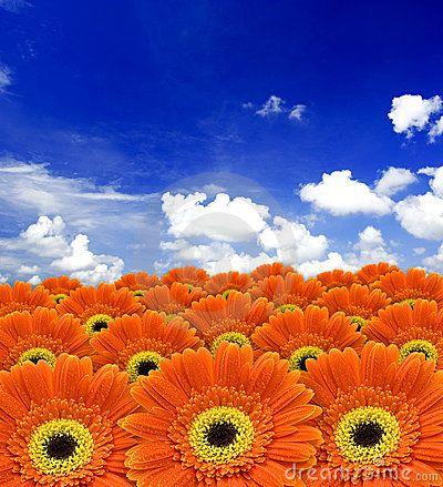 Orange gerber flowers against blue sky