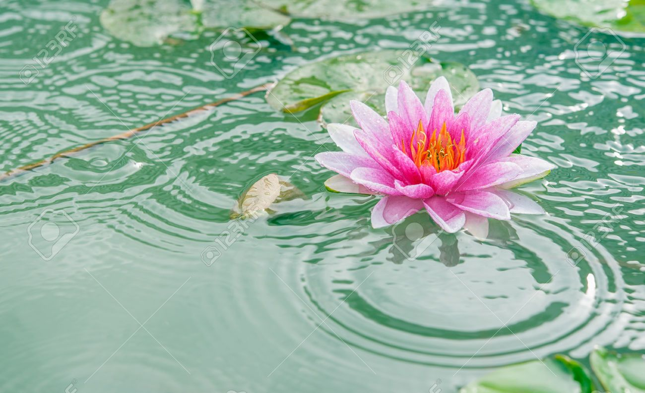 A beautiful pink waterlily or lotus flower in pond with rain a beautiful pink waterlily or lotus flower in pond with rain izmirmasajfo Gallery