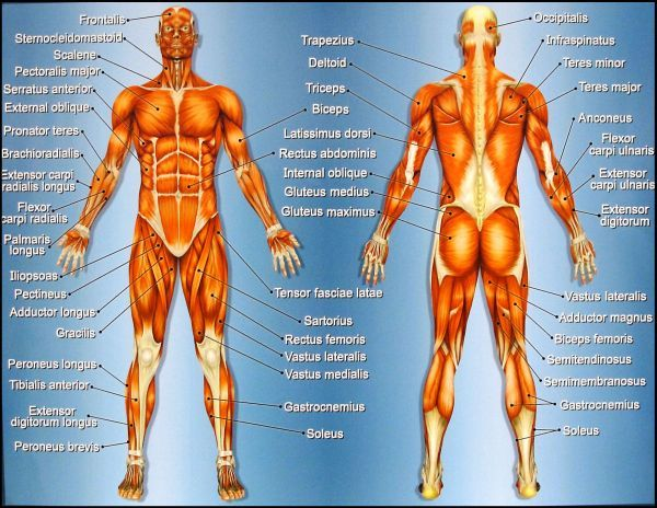 knowing which muscle groups to work first to maximize your results, Muscles