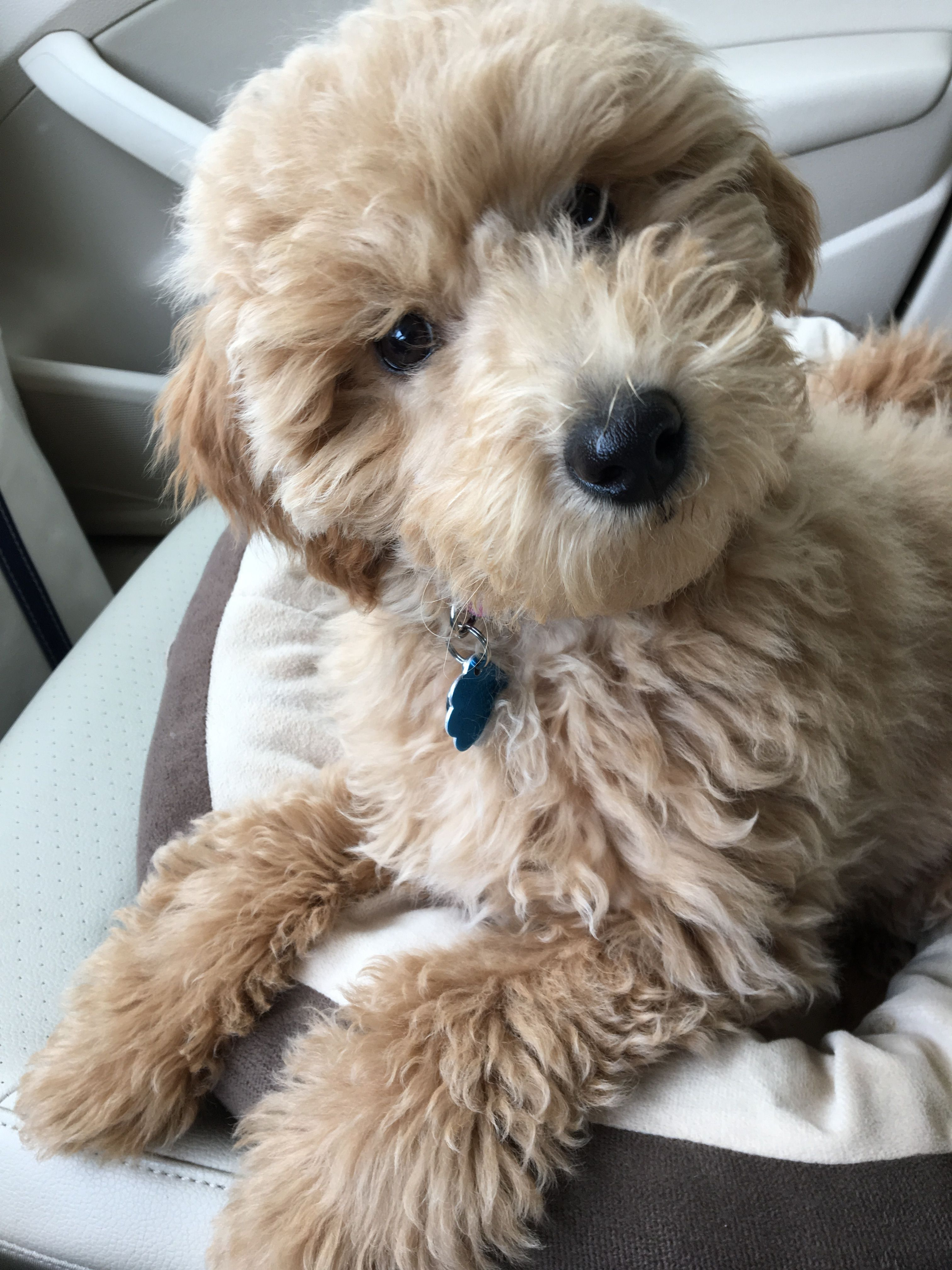 Pin by RichmondMom on Furry Babies Doodle dog