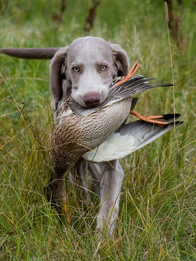 A dog's first retrieve. #Retriever #Waterfowl #Hunting