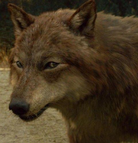 wolf jacob   The Twilight Saga Series in 2019   Twilight ...