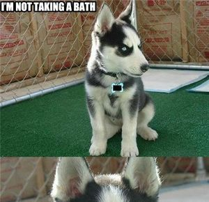 Husky Puppy I M Not Taking A Bath Husky Puppy Husky Puppies