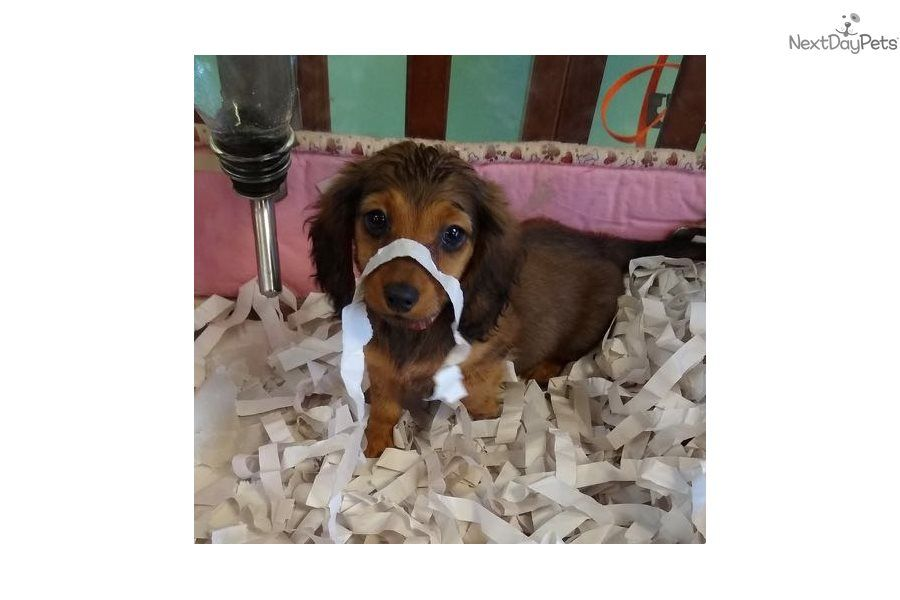 Lucy Dachshund Puppy For Sale Near Jacksonville Florida