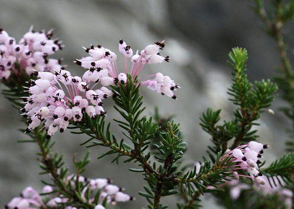Erica Multiflora Greek Flowers Flower Essences Plant List