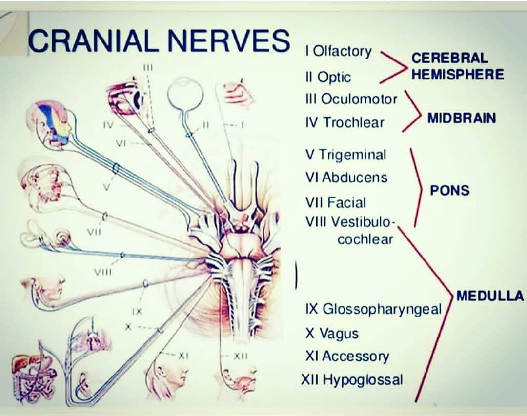 Read More And Download Book Immediately Key Points The Cranial Nerves Serve Functions Such As Smell Sight Eye M Facial Nerve Anatomy Flashcards Cranial Nerves