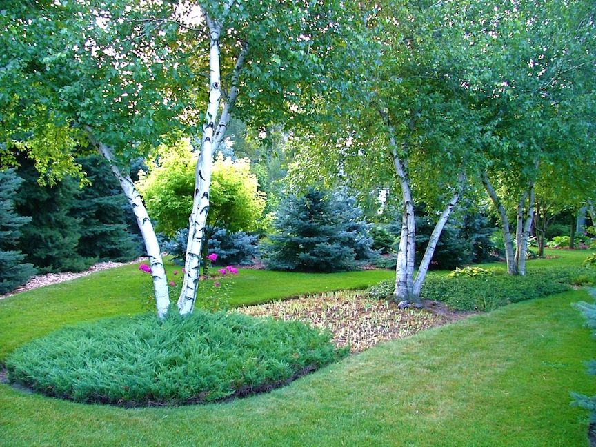 birch with conifer Google Search Outdoor gardens