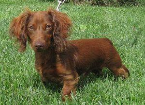 Adopt Gabi On Adoptable Dachshund Dog Puppies Dachshund Rescue
