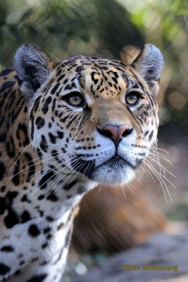 Pin By Julie Fenn On Animals Big Cats Wild Cats Dog Shots