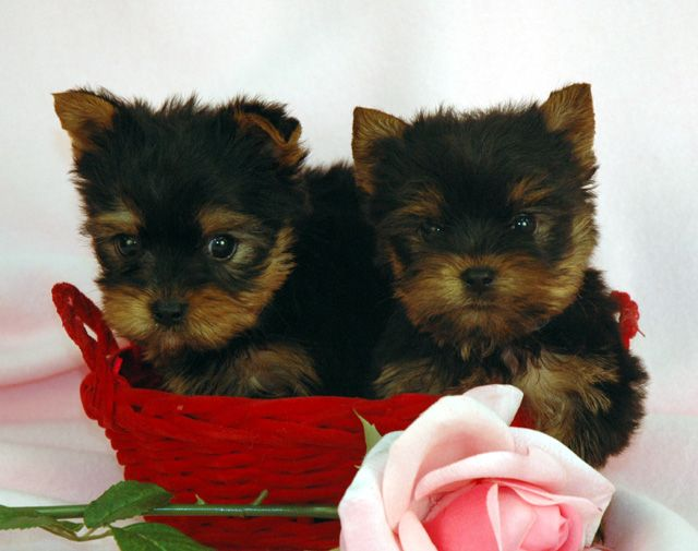 Teacup Yorkie Puppies For Sale In Pa Zoe Fans Blog Cute Baby