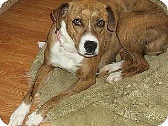 Doylestown, PA - Boxer Mix. Meet Mandy, a dog for adoption. http://www.adoptapet.com/pet/11851806-doylestown-pennsylvania-boxer-mix