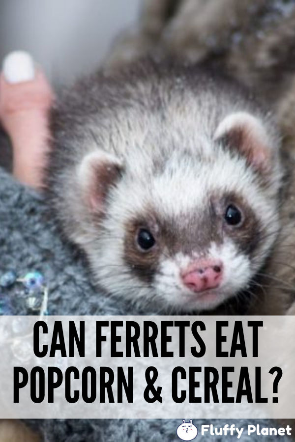 Can Ferrets Eat Popcorn Cereal Fluffyplanet Com Pet Ferret
