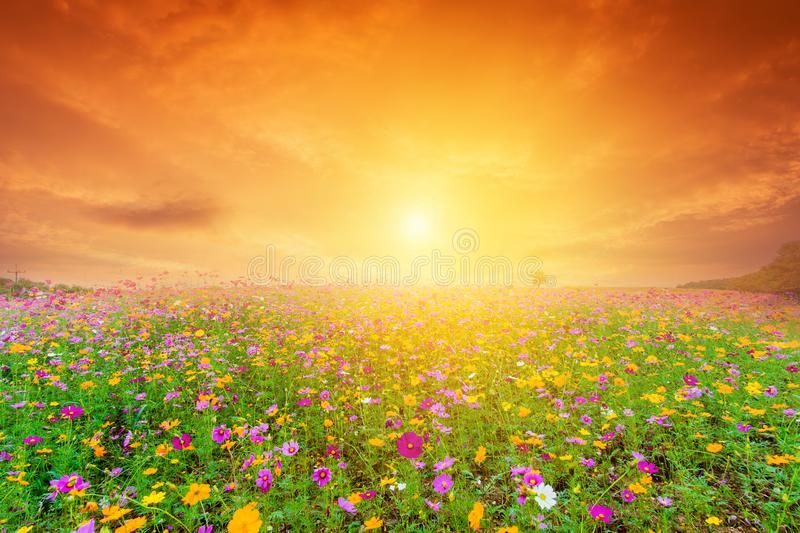 Beautiful Landscape Image With Cosmos Flower Field At Sunset Chiangrai Thailan Sponsored Im Beautiful Landscape Images Beautiful Landscapes Flower Field