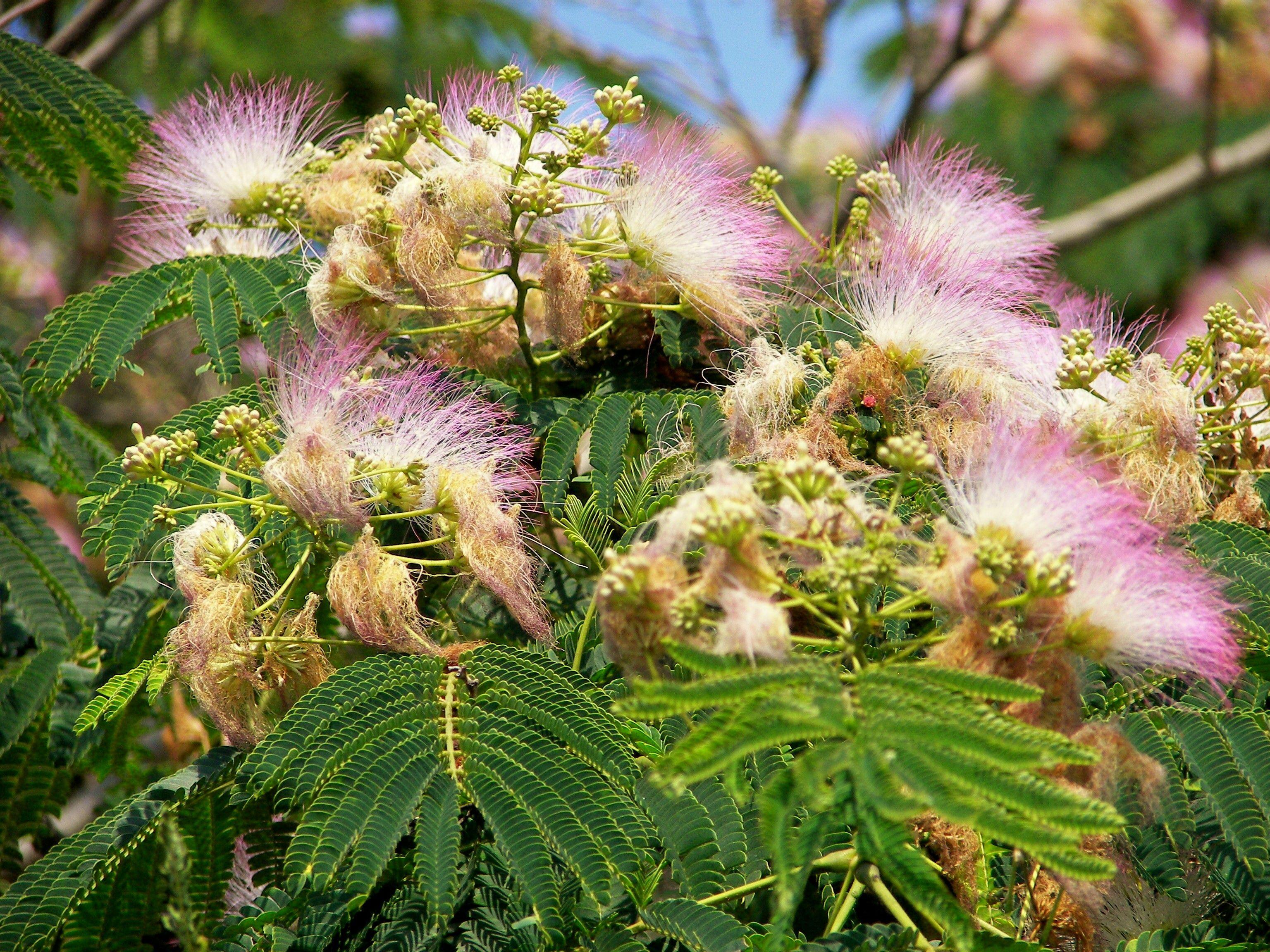 Puffy Pink Flowering Trees Arkansas Gorgeous